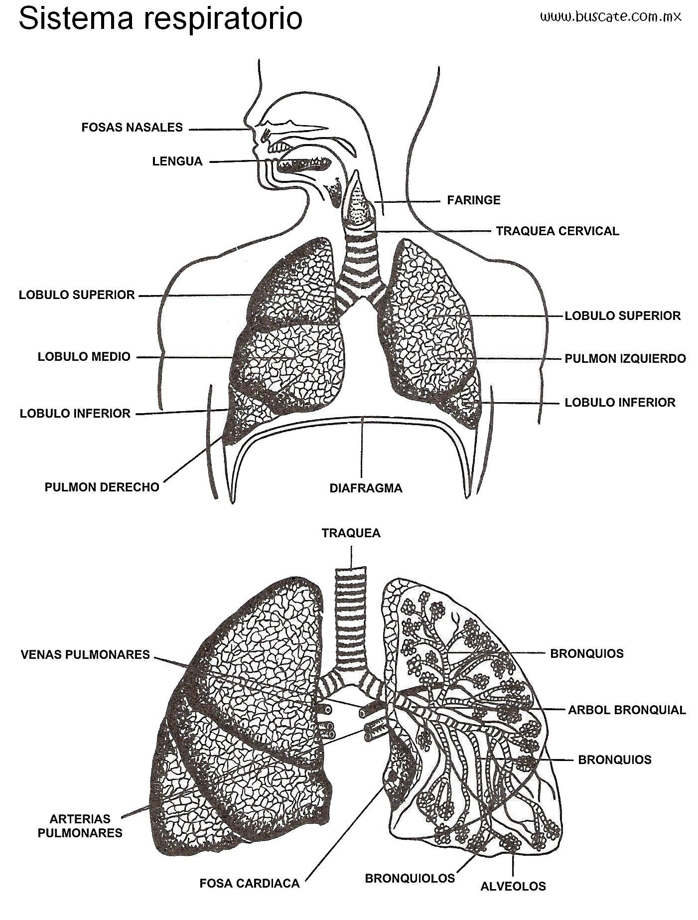 Esquema del sistema respiratorio con los nombres de sus partes ...