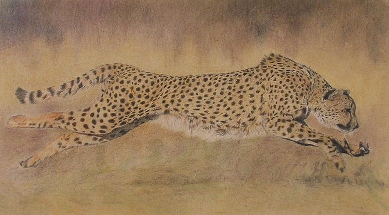Cheetah at full speed - A2 print on canvas. Price: $89.29.