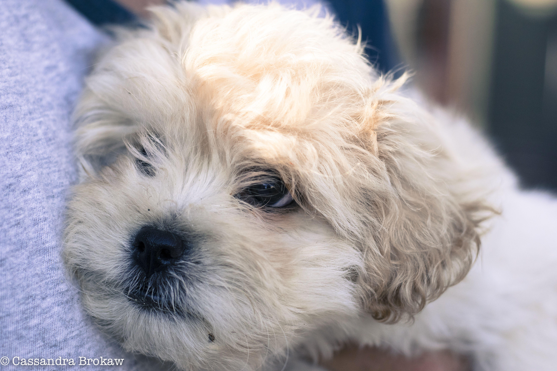 Benson maltesetoy poodleshitzhu toy poodle puppies