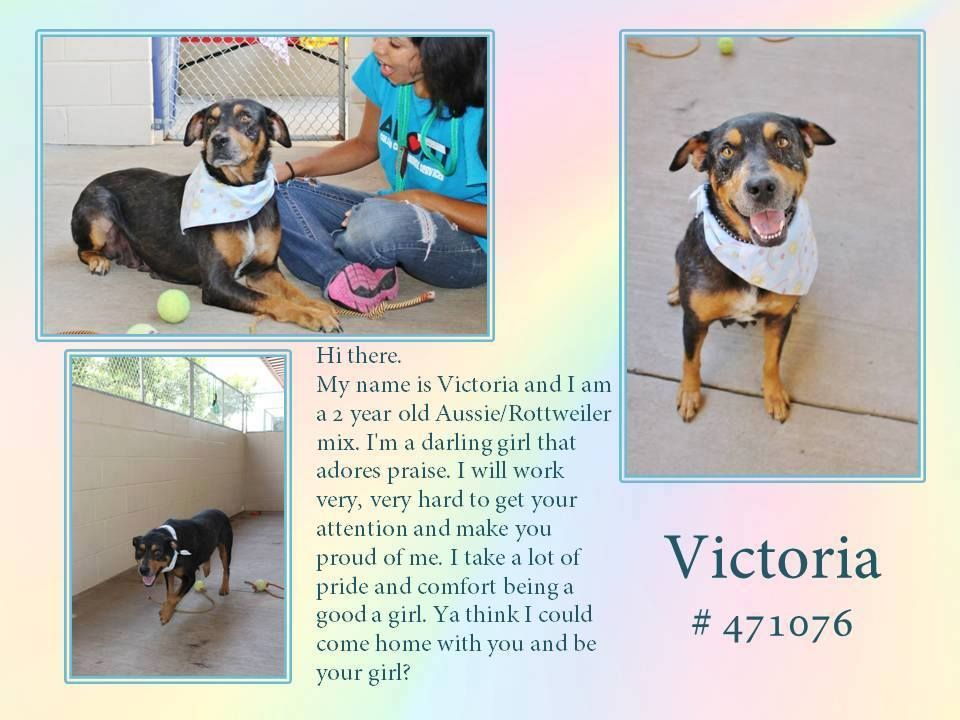 Mckinney Tx My Name Is Victoria And I Am A 2 Year Old Aussie