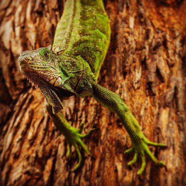 Iguana - Galapagos