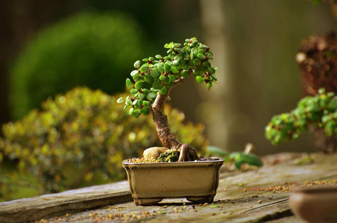 Portulacaria Afra Succulent Bonsai Tree by Little Jade Bonsai ...