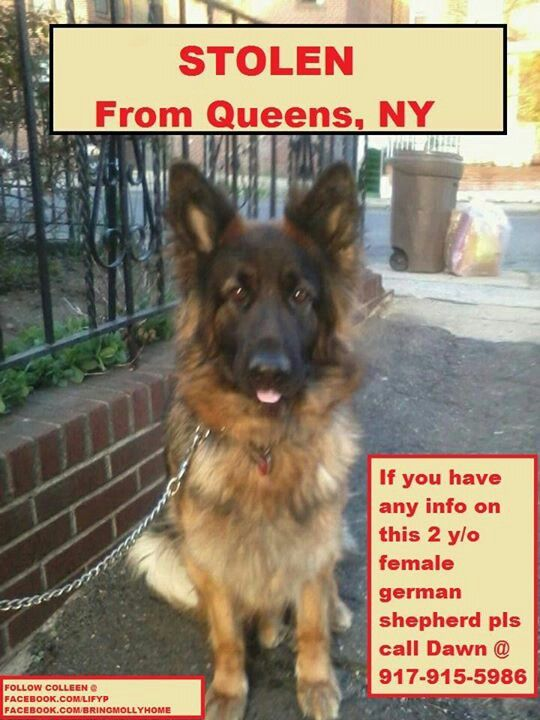 Pinterest Spiritual Fam Please Help Us Locate Safely Bring Colleen Home To Her Family Please Re Pin H Female German Shepherd German Shepherd Animal Advocacy
