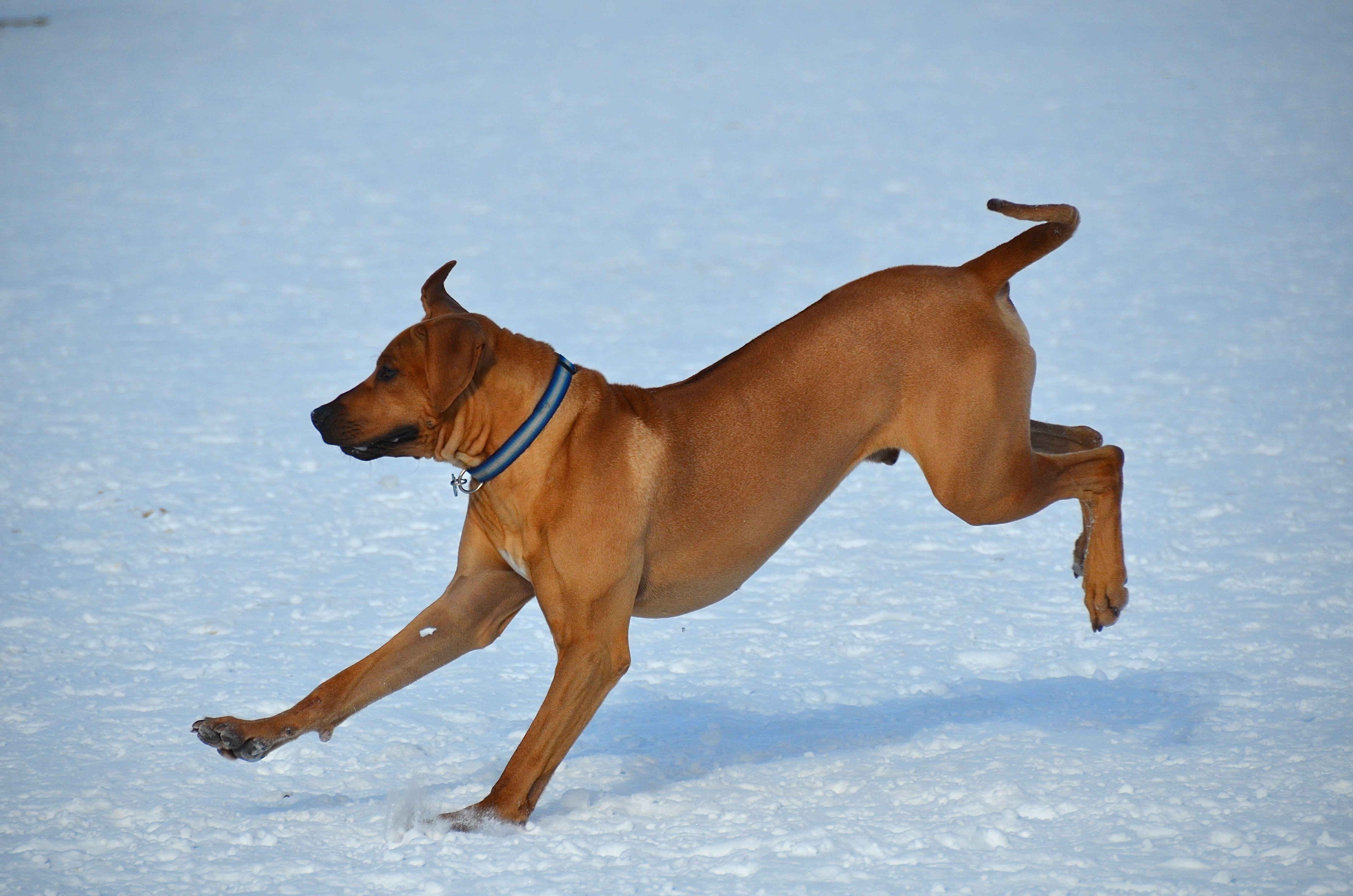 Rhodesian Ridgeback Dogs City Dog Dog Poses
