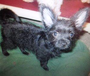 Adopt Sara On Chihuahua Puppies Chihuahua Dogs Animals