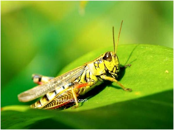 facts about Grasshoppers - Google Search | Grasshoppers, Praying ...