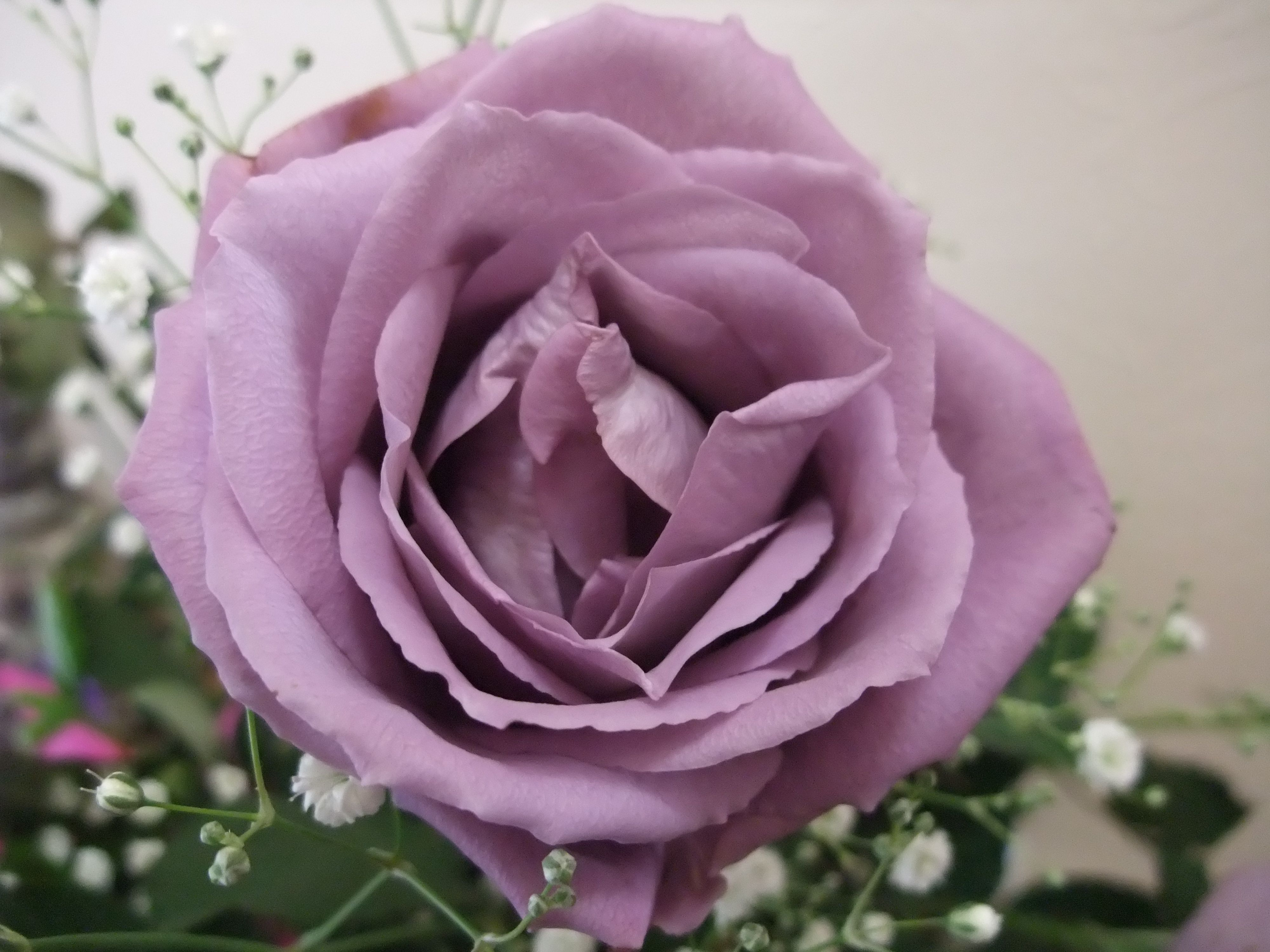 Blue Rose Wikipedia The Free Encyclopedia Beautiful Rose Flowers Planting Flowers Rose Pictures