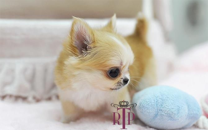 Super Cute Applehead Chihuahua With Images Chihuahua Puppies