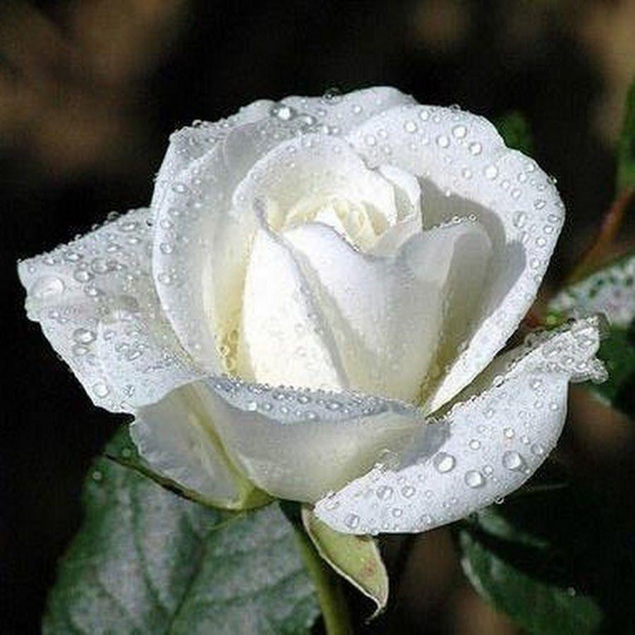 Most Beautiful White Rose Pesquisa Google Flowers As Joy