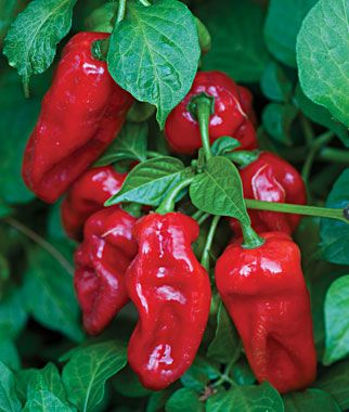 Pepper, Hot, Zavory  The first ever Habanero with mild heat! (90 days)  (Heat)100 Scoville's