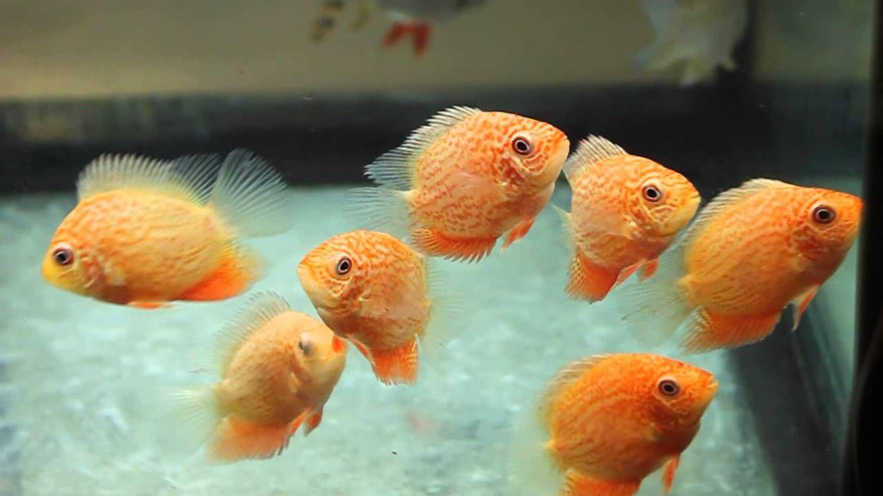 Fish aquarium red spots - Golden Red Spot Severum On The Move Tropiquatics 6 14 13 Https