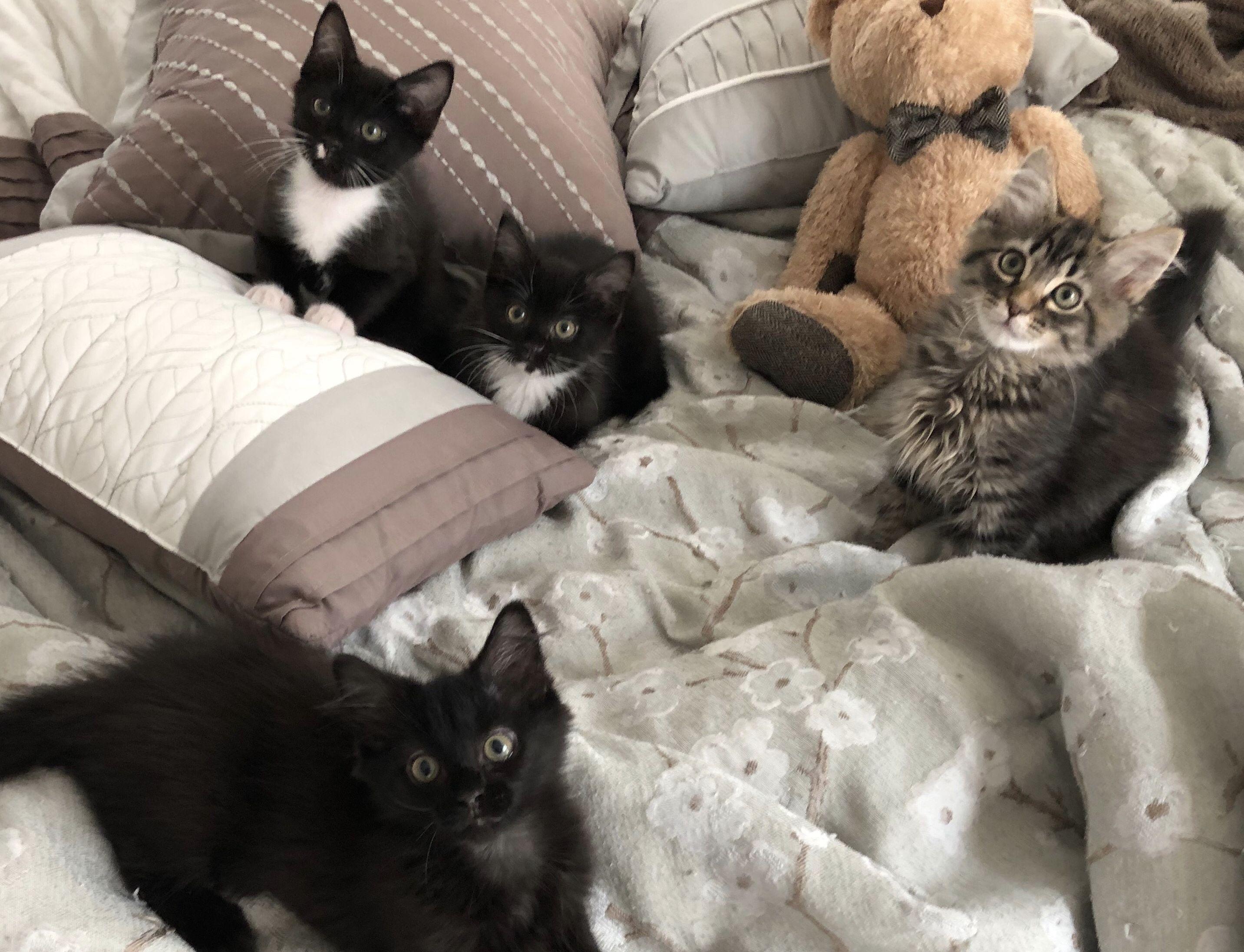 Kittens Update Kitten Adoption Kittens Kitten Food