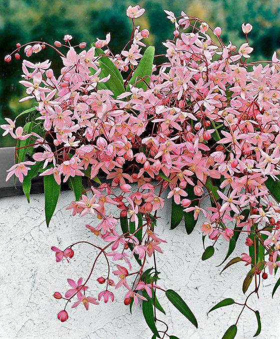 odorante, beaucoup de petites fleurs, tardive, sans taille | Nature ...