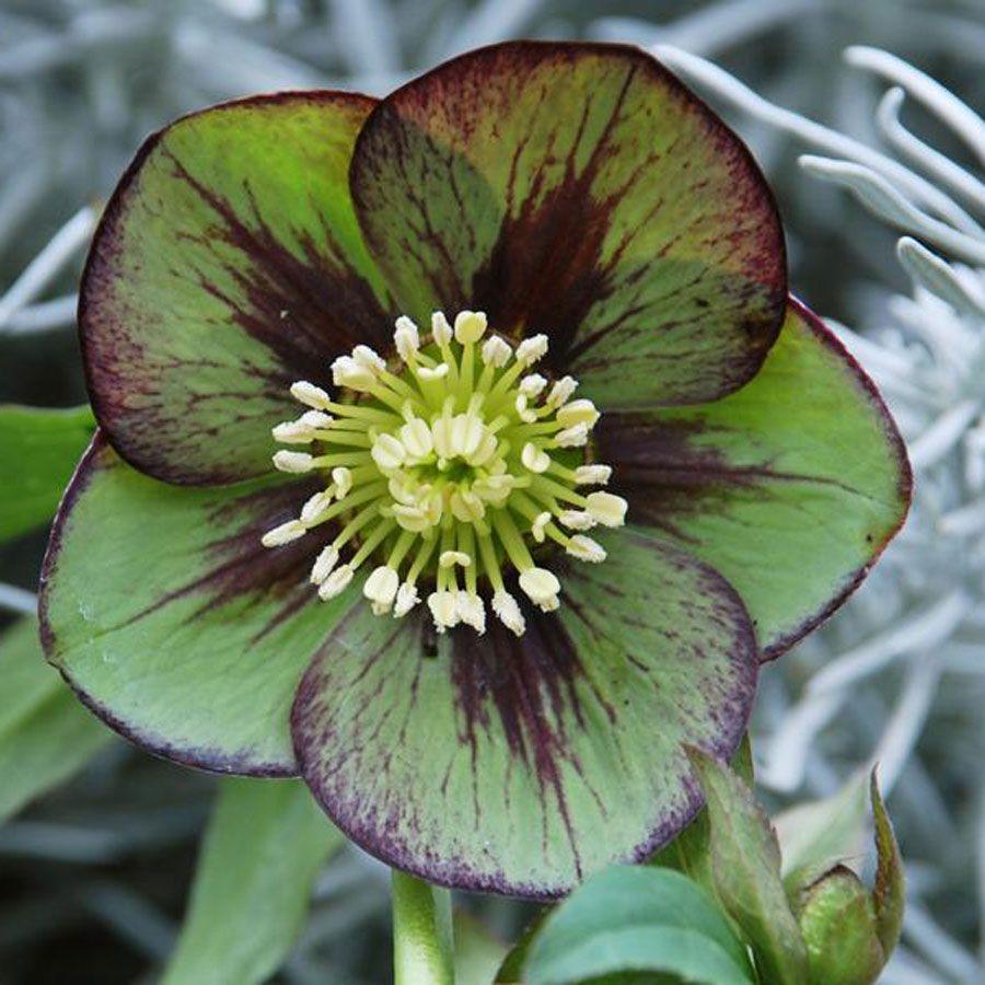 helleborus winter jewels jade star winter plants plants and gardens