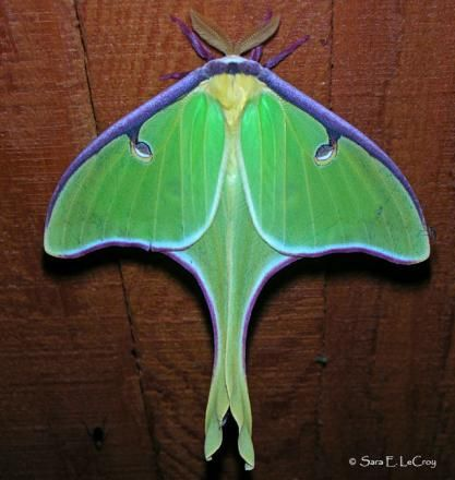 Image Gallery Butterflies And Moths Of North America Luna Moth Moth Beautiful Bugs