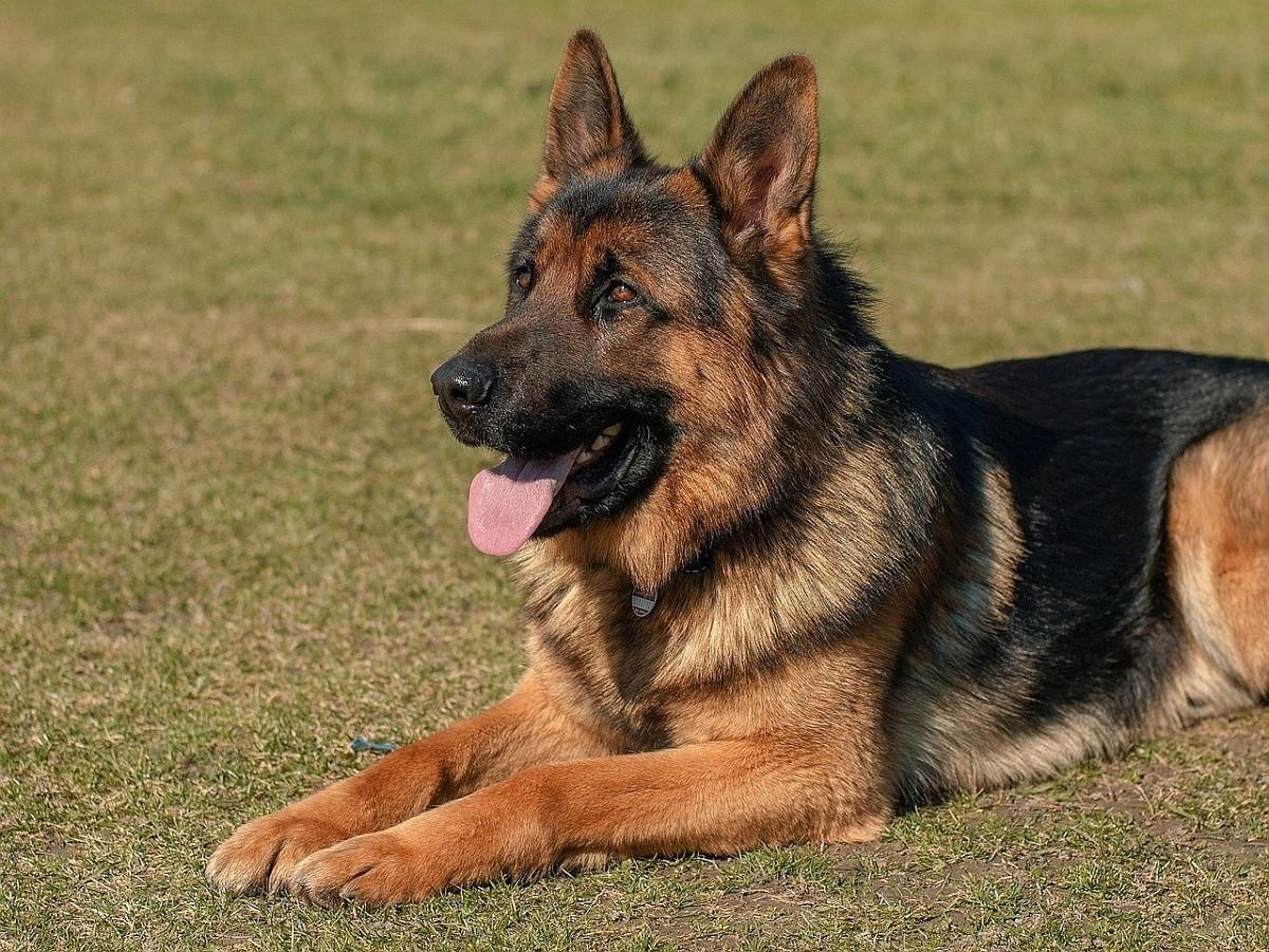 German Shepherd Training Basic Strategies And Helpful Hints