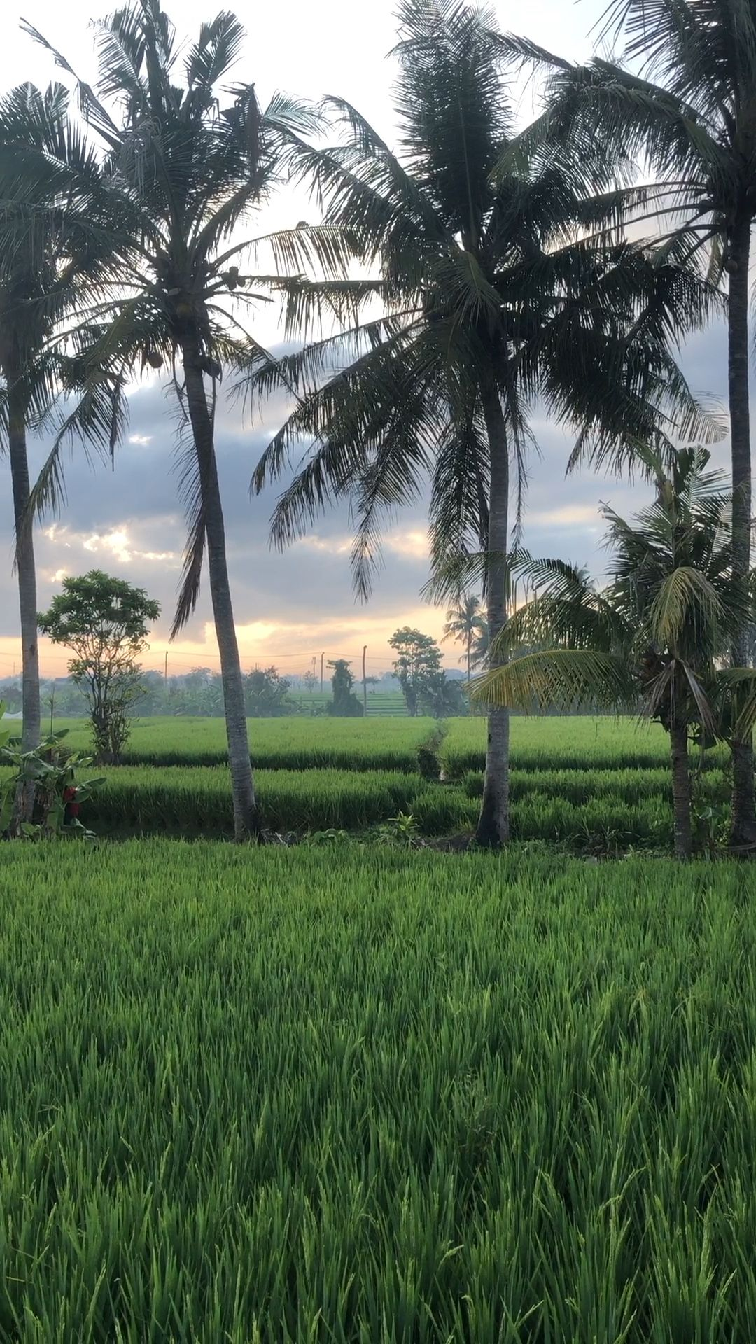 Bali Rice fields!