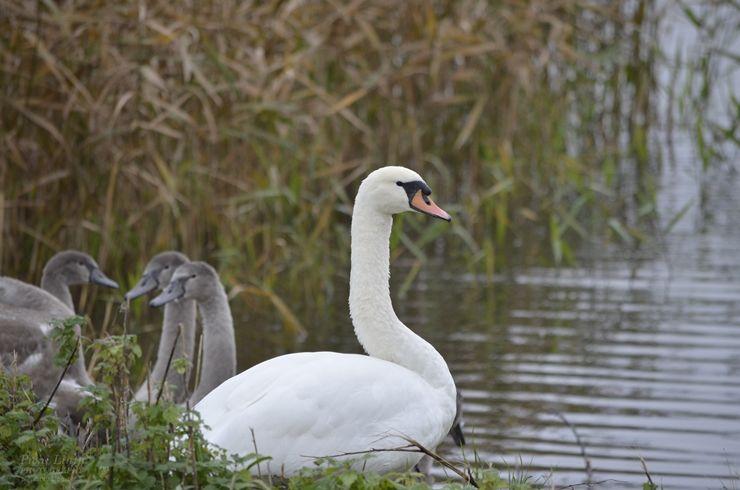 #birds #linnut #joutsen #swan  http://pienilintu.blogspot.fi/2014/10/pian-ne-lahtevat.html