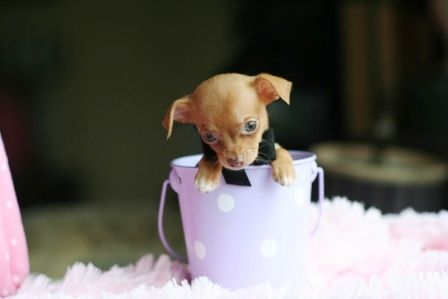 How Cute Is This Teacup Chihuahua Puppies Chihuahua Puppies