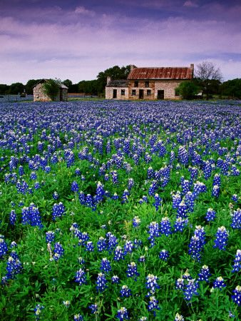 i want to sit in a field of bluebonnets