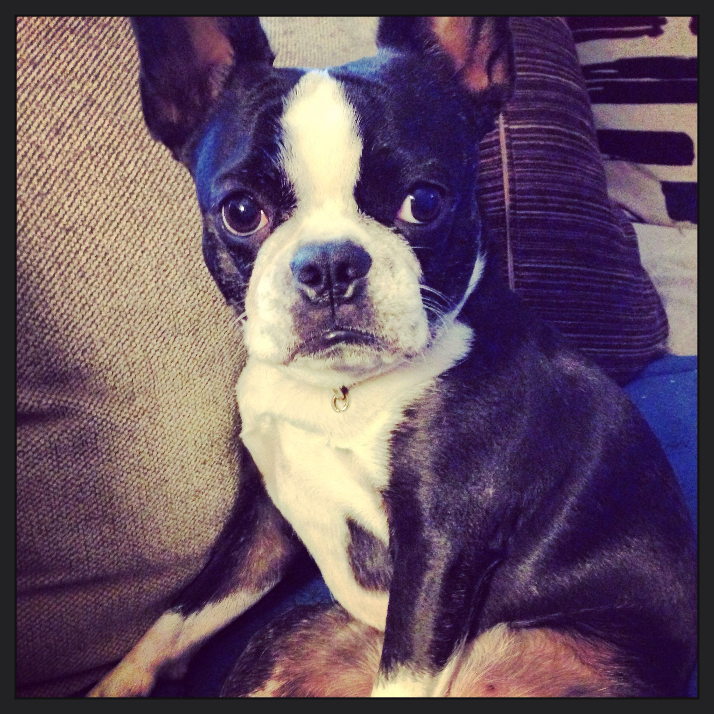 This Is A Frenchton A French Bulldog And Boston Terrier Mix Puppy And 100 Gorgeous Boston Terrier Terrier Mix Dogs