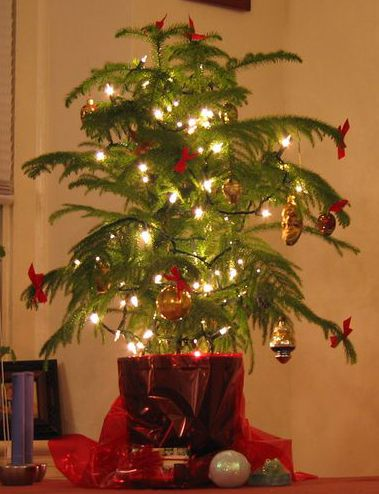 Many people are starting to use a living Christmas tree instead of a cut  one. The top choice for that tree is a Norfolk Island Pine tree. - Flower Garden 'tis The Season Pinterest Christmas, Pine
