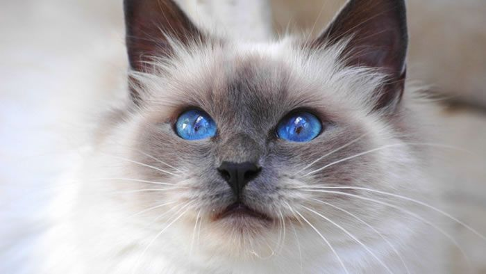 10 Most Furriest Cat Breeds In The World Fluffy Cat Breeds