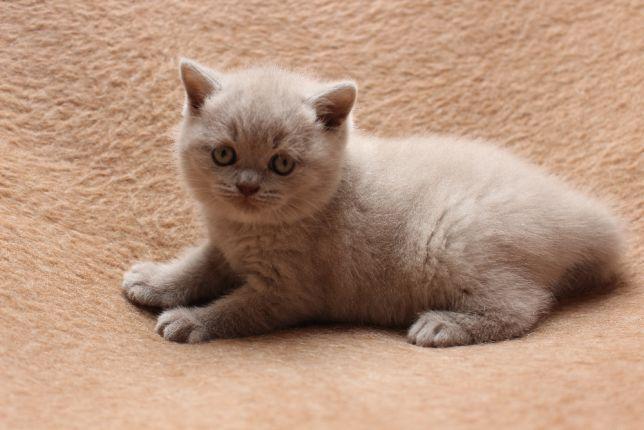 Kocięta Brytyjskie Liliowe Jaś I Małgosia Toruń Image 5 Koty