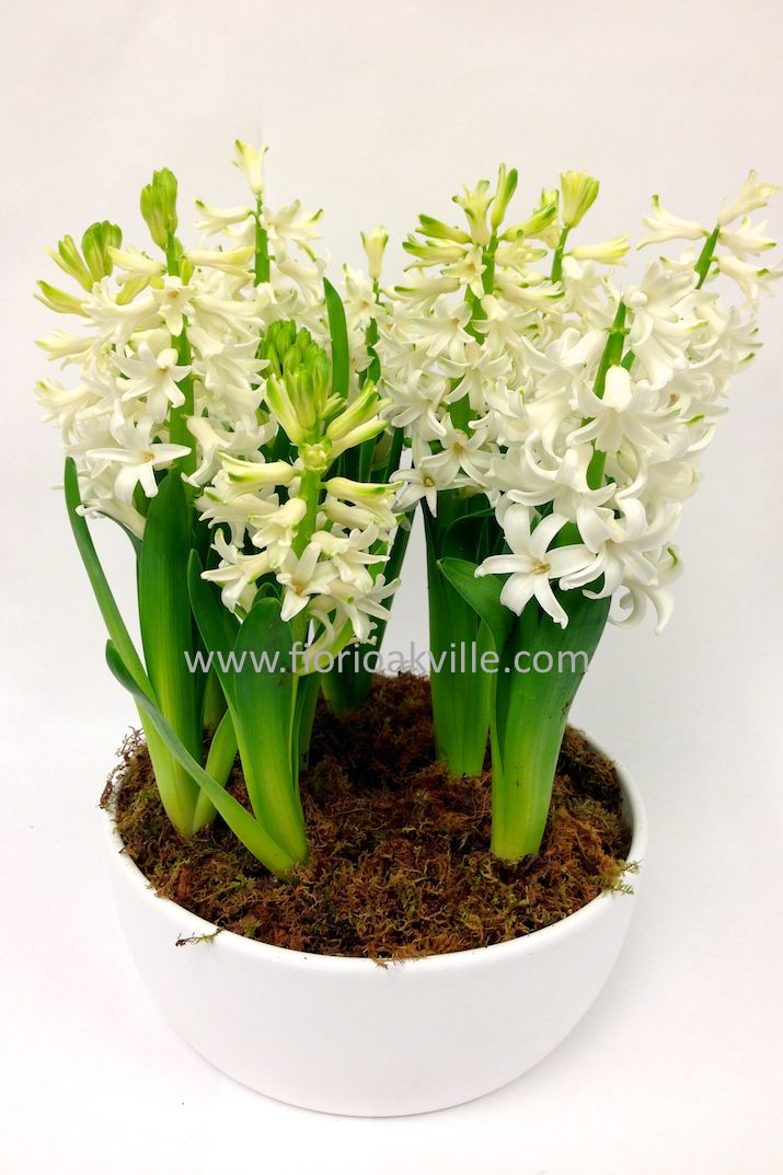 Potted Bulb Garden -White Hyacinth