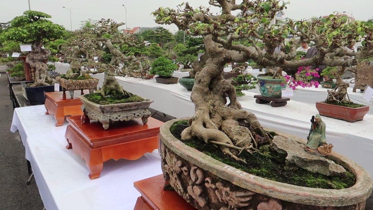 Ghim Tren Bonsai Tree