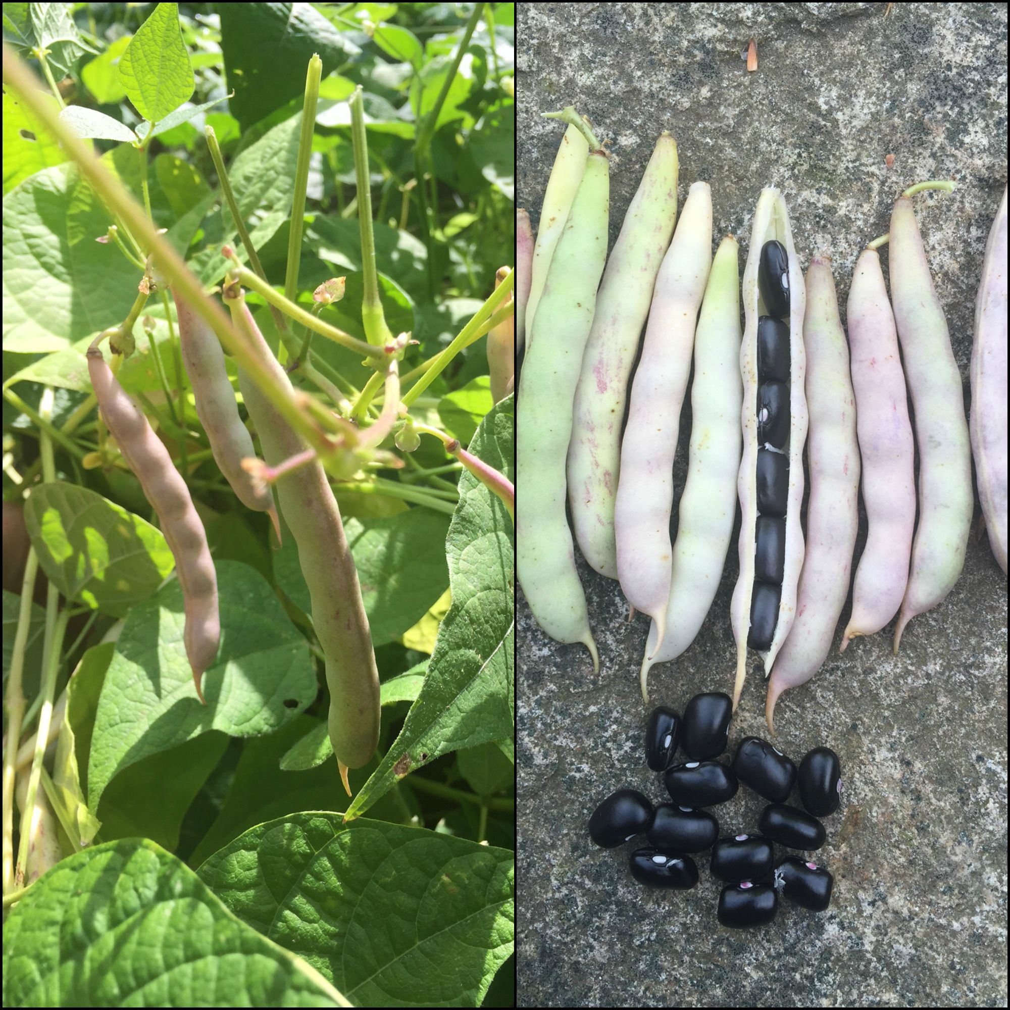 Grow Your Own Black Beans This Year It S So Easy Grown Like