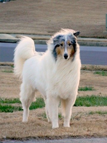 Beautiful White Collie With Hardly Any Other Color Except Around
