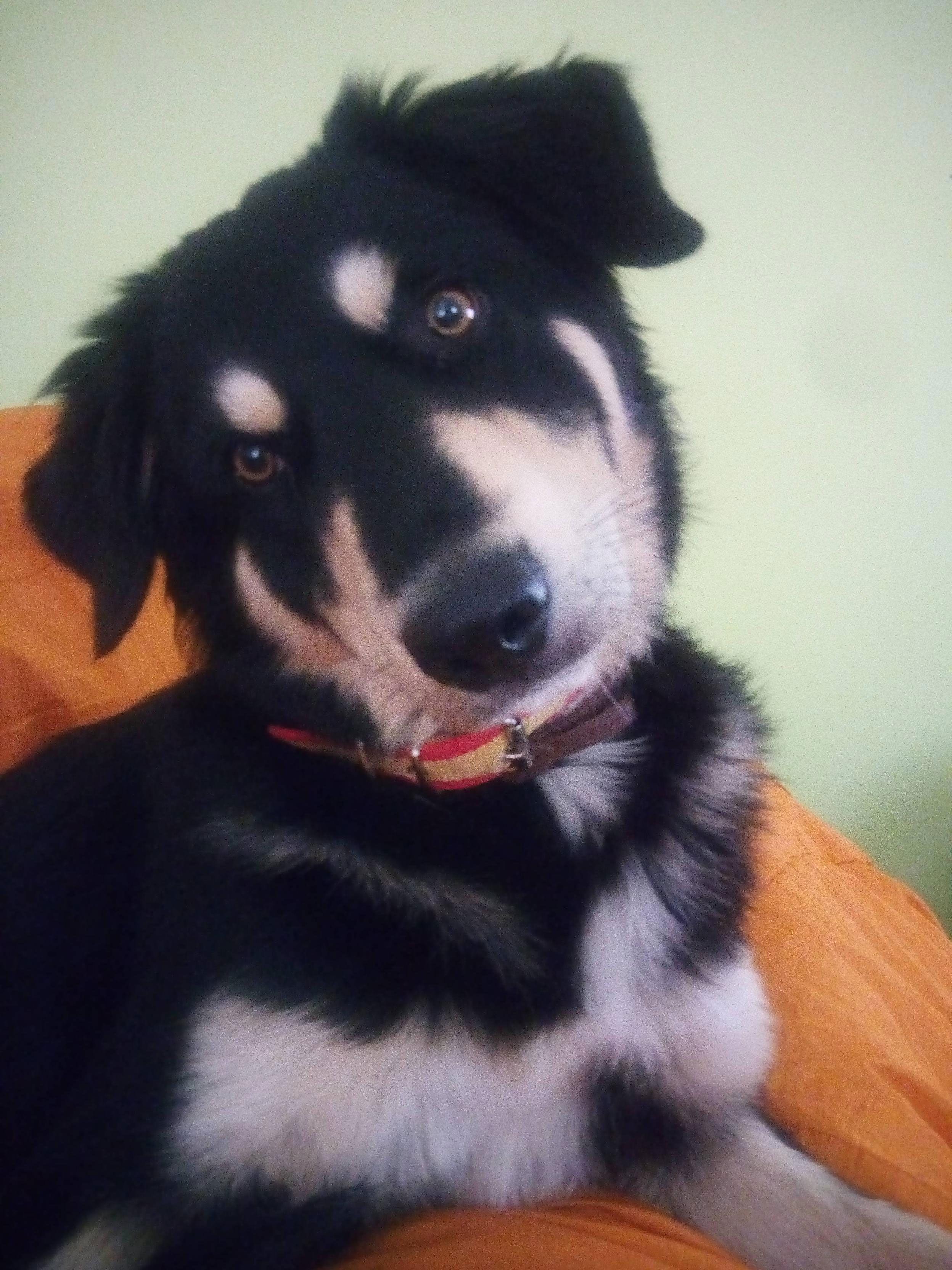Meet Indiana, cute little Border Collie puppy Cute
