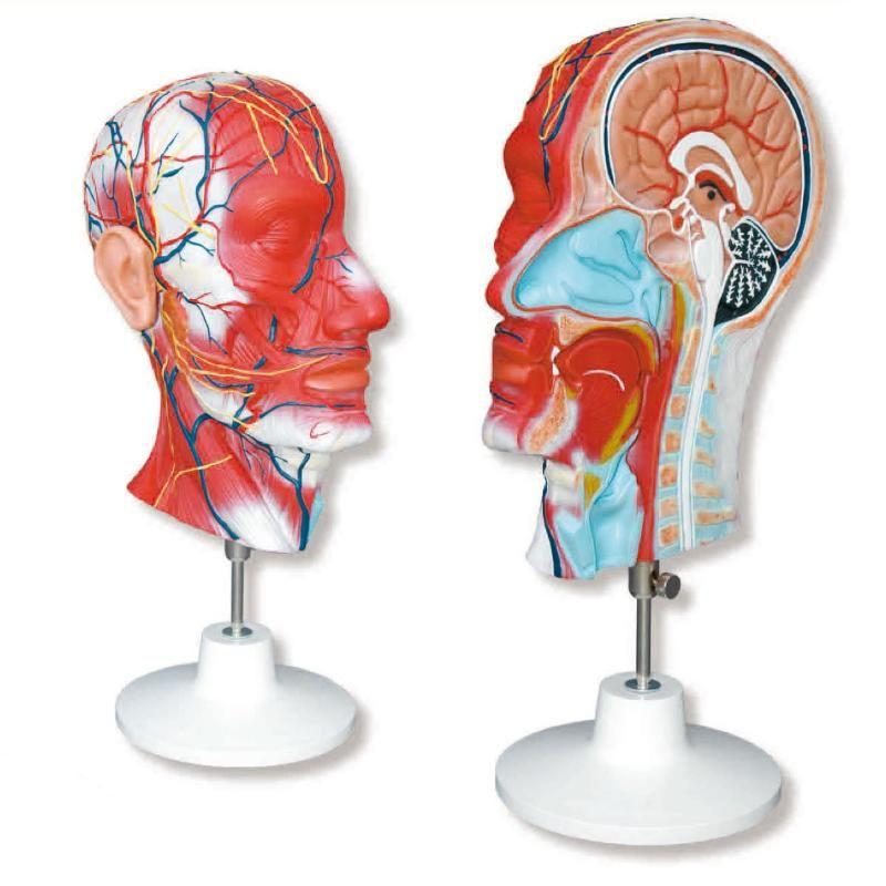 Mitad de cabeza con detalle de arterias, venas, nervios y músculos ...