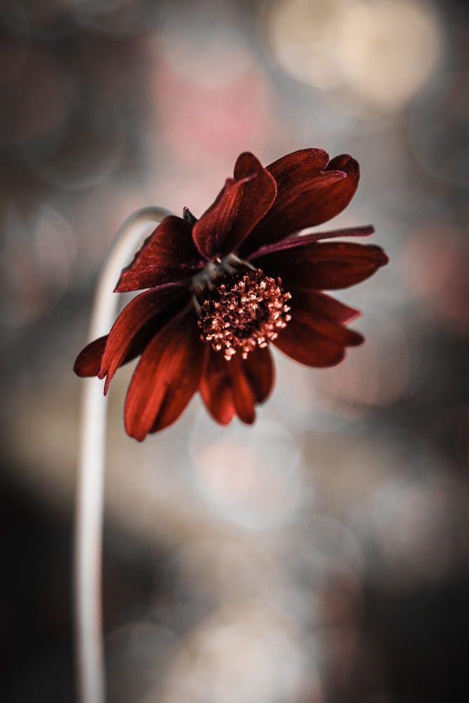 Cosmos Atrosanguineus The Chocolate Cosmos By Marcus Eff Flower Aesthetic Amazing Flowers Chocolate Cosmos Flower