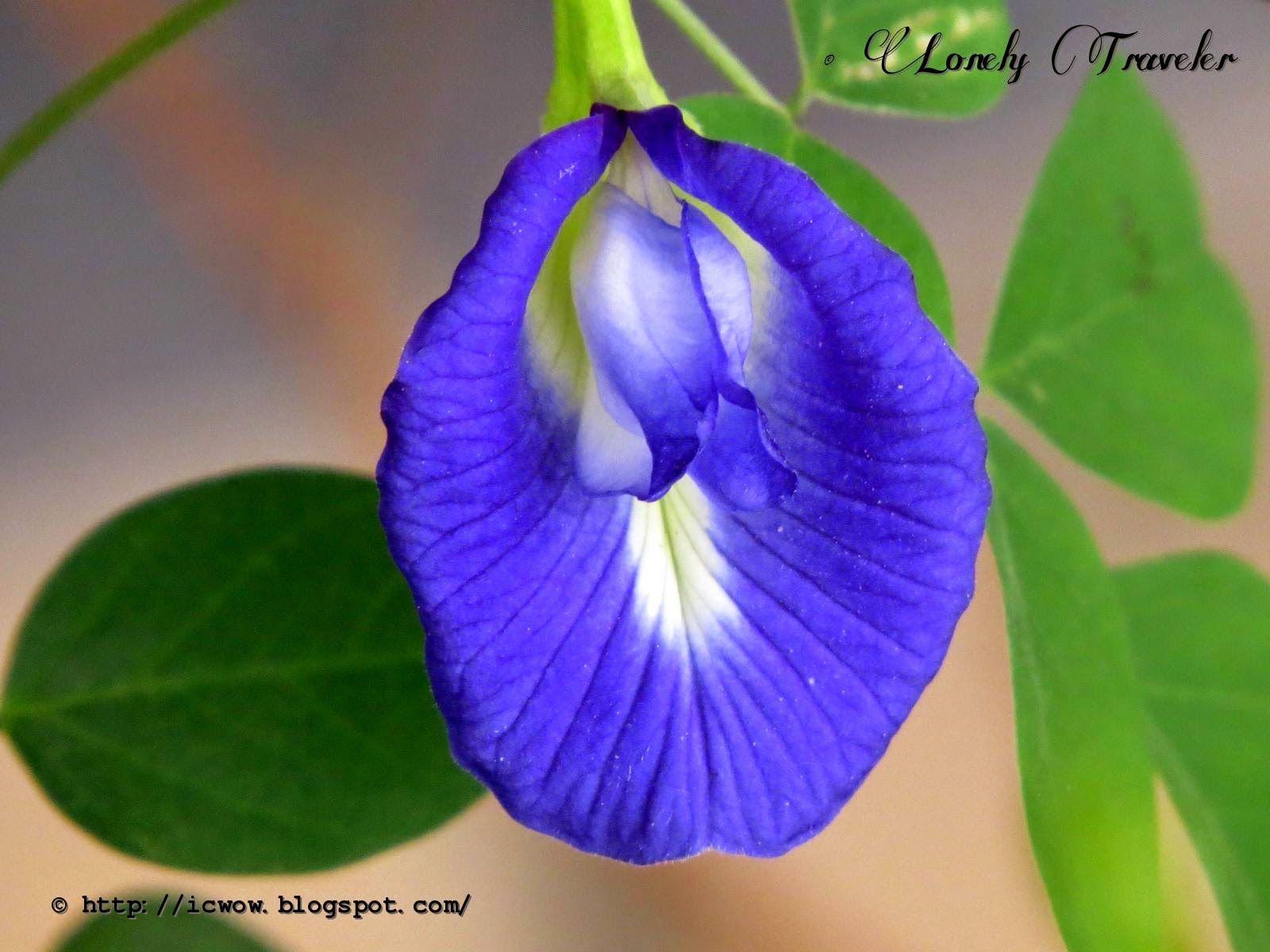 Oporajita Ful অপর জ ত ফ ল Clitoria Ternatea Hand Painted Dress Flowers Plants