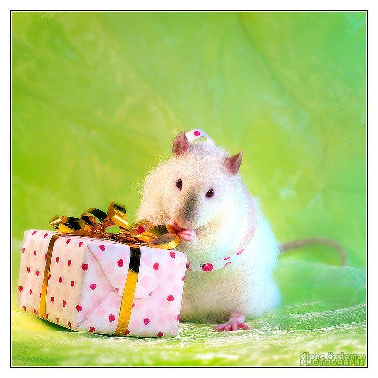 Надписью, картинки с днем рождения с крысами
