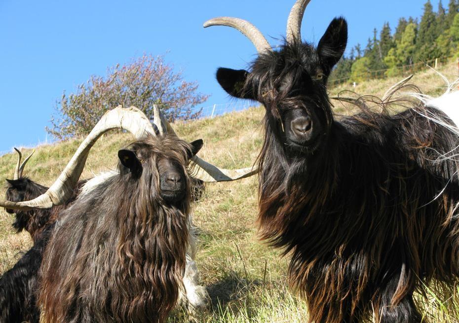 Ziegenrassen Ziege Nutztiere Tiere