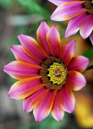 Gazania. This annual loves sun & dry conditions. It's short but notice that the brown on this flower look like a row of bird feathers. I plant these on open spots in a sedum bed.