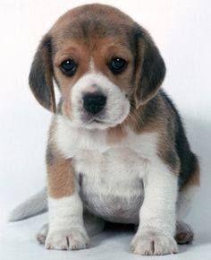 Pin By Joan Heath On Beagles Beagle Puppy Cute Beagles Puppies