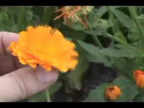 Calendula Is A Healing Herb Calendula Is One Of The Most