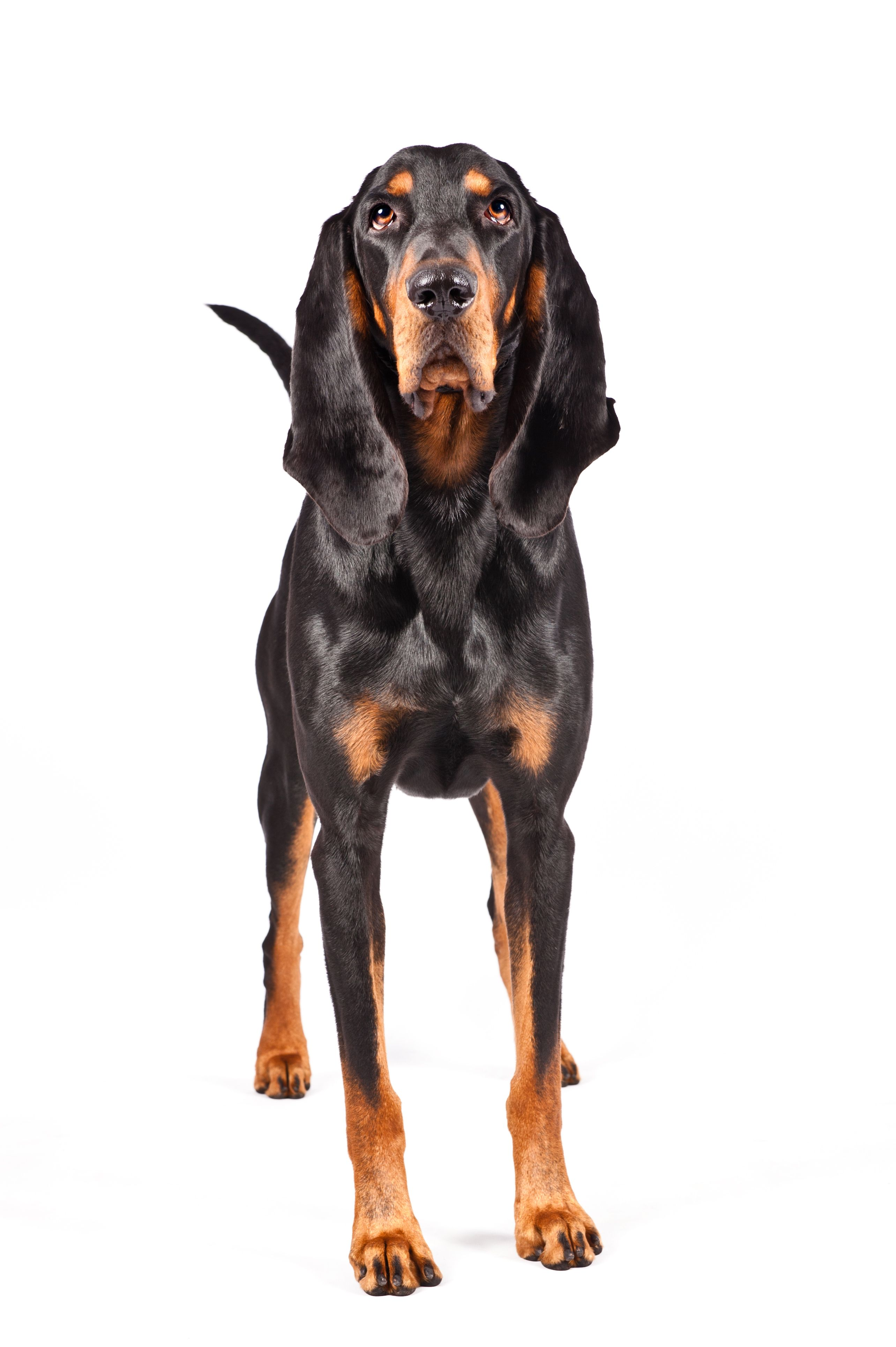 Black And Tan Coonhound Southern Style Coonhound Coonhound