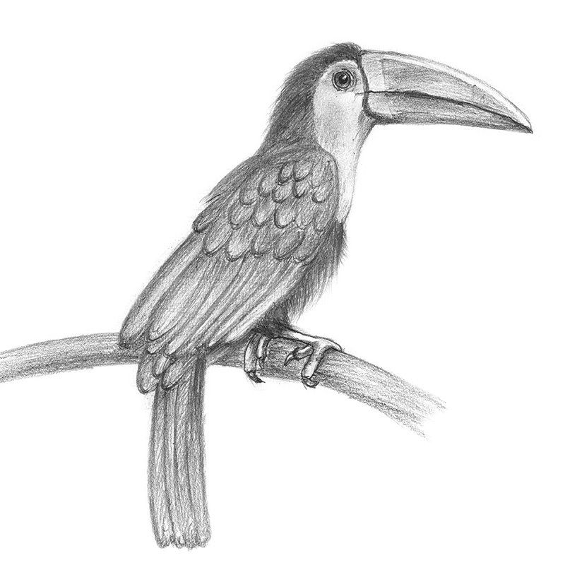 Pencil Sketch of Toucan - Pencil Drawing | Pencil Sketches ...