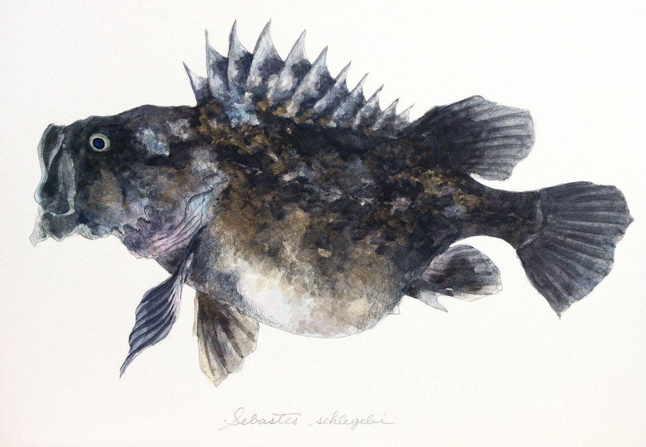 クロソイ Sebastes schlegelii,かわいくて、きれいで、かっこよくて、色っぽい。そんな魚の姿を、絵とことばで描いています。(スマートフォン表示非対応です。PC版でご覧ください。)