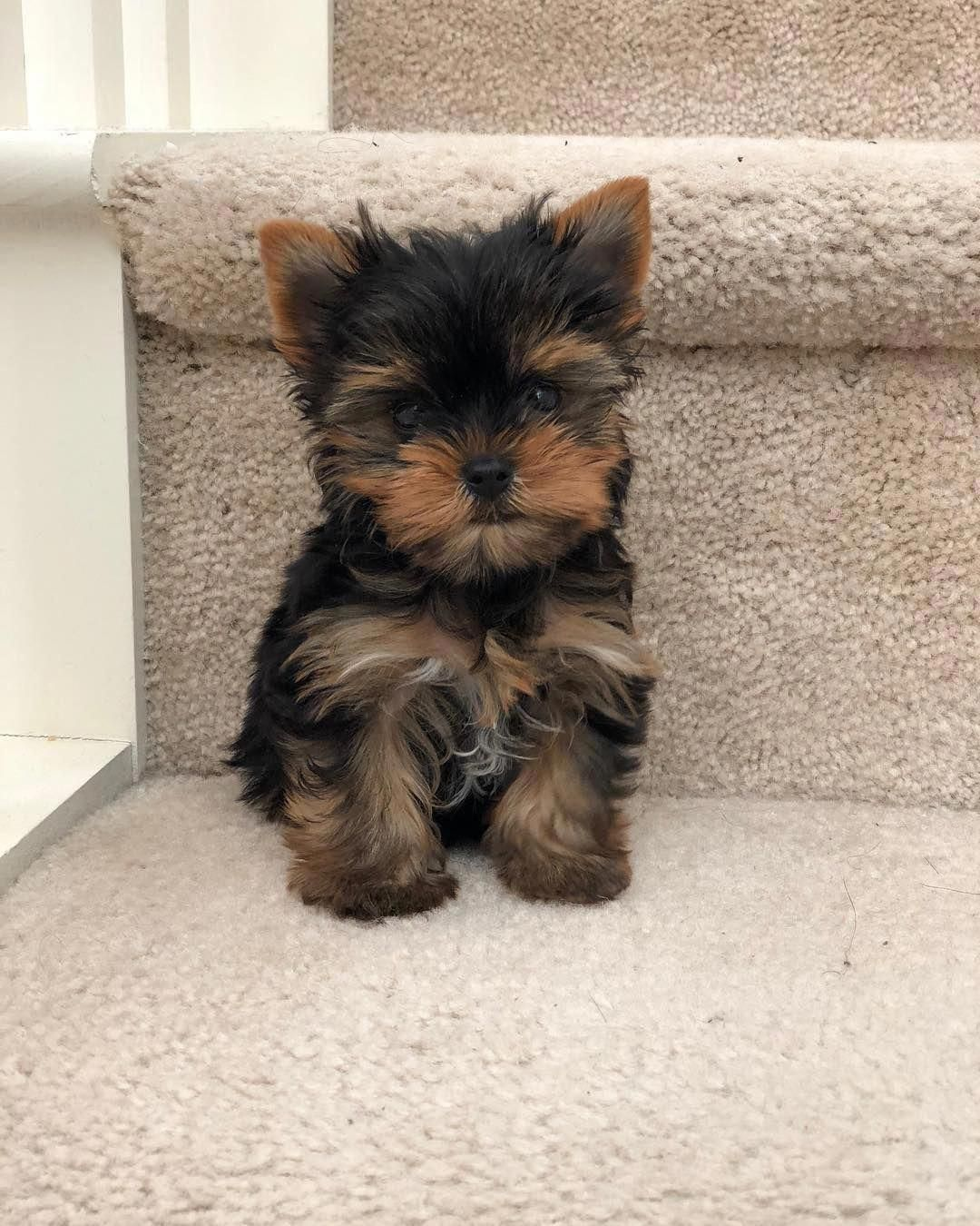Yorkshire Terrier Energetic And Affectionate Yorkie Puppy Teacup Yorkie Puppy Yorkshire Terrier Dog