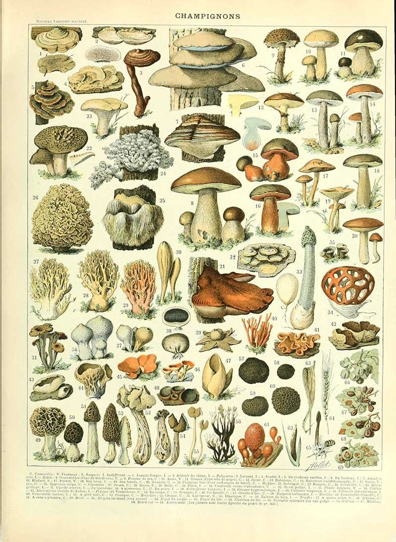 Photo of Free Mushroom Charts And Mushroom Illustrations To Print