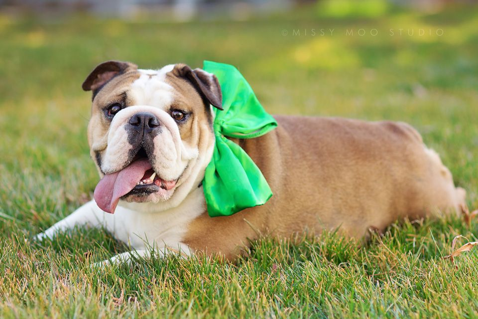 Irish Bulldog Hehe Bulldog English Bulldog Silly Animals