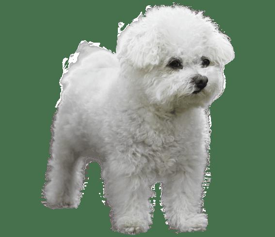 Bolognese Bolognese Dog Dogs Breeds