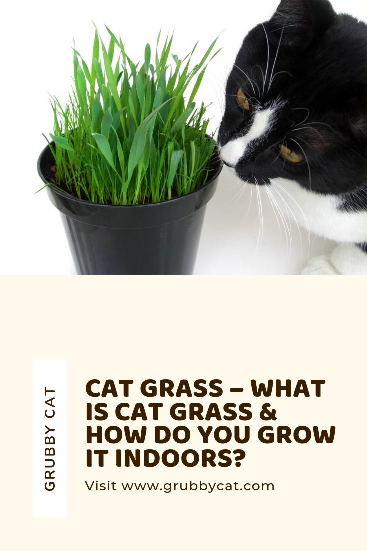 Cat Grass What Is Cat Grass & How Do You Grow It Indoors