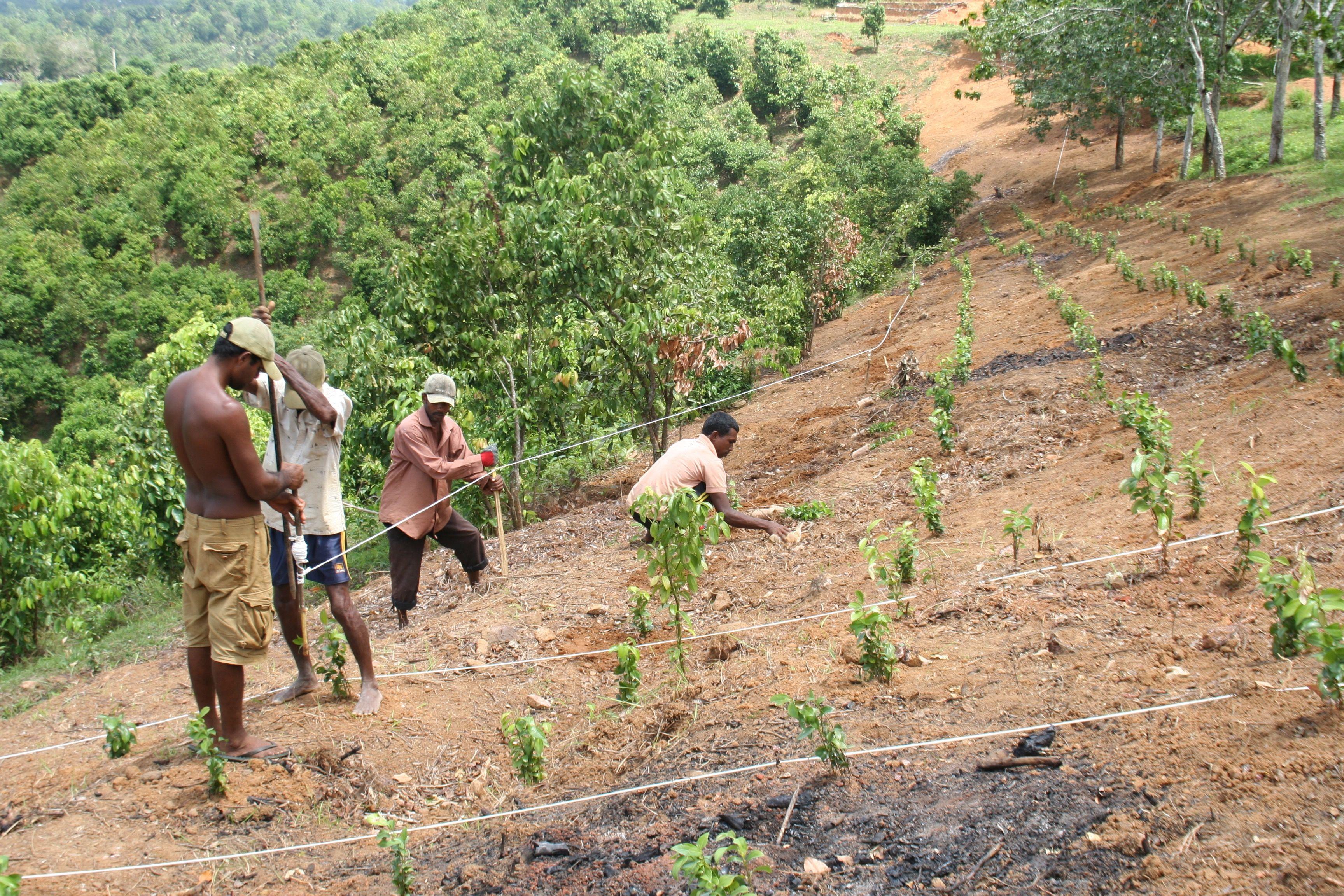 Planting small Ceylon cinnamon plants on open ground